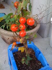 Tomato1_2