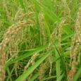 阿南早場米 もうすぐ収穫